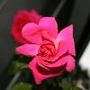 Up Close tele Roses 021508_0010