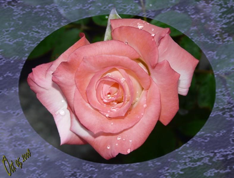 FZ18 IA GEMINI Rose 100508 _00003
