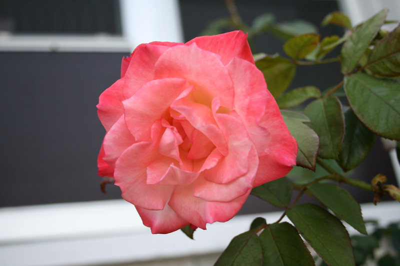 Front rose XTI sports 030508 (14)