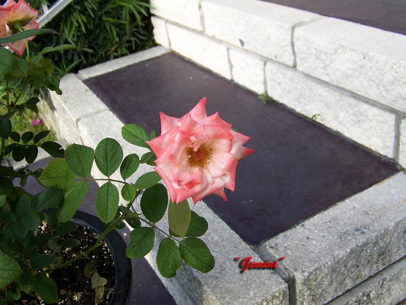 Roses NAMED 110207012