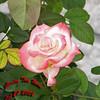 Gemini Tea Rose 102707001_1541