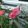 af point on rose then composed 030908006