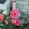 Frt rose TZ3 030908005