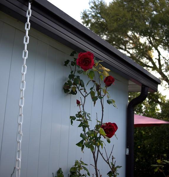 Roses 03221000001