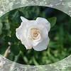 Pristine rose 100108