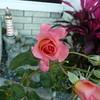 af point on rose then composed 030908001