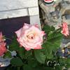 Roses NAMED 110207010