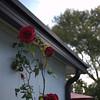 Roses 03221000003