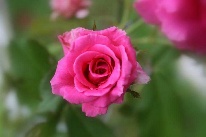 Roses XTi Macro 072908_0007