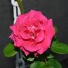 Roses FZ18 (2)