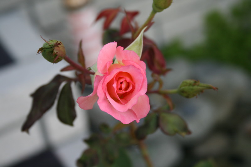 Front rose XTI sports 030508 (3)
