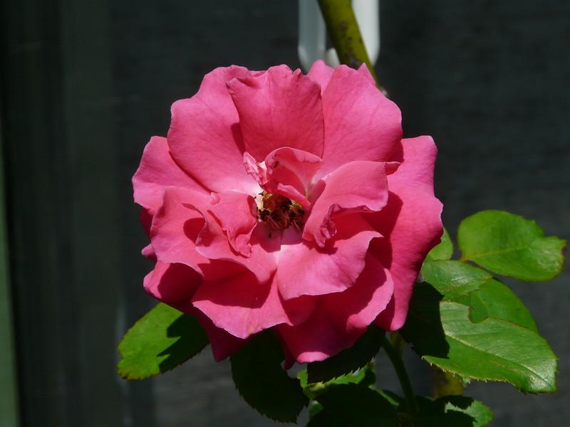 Roses FZ18 last p _0003