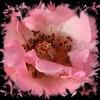 Rose 100808
