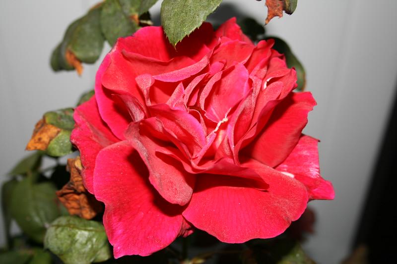 Up Close tele Roses 021508_0002