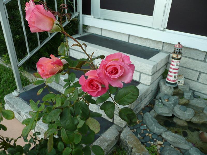 Frt rose TZ3 030908021