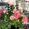 Roses NAMED 110207006