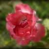2013-11-01_ Color Magic Rose,Clearwater,Fl _IMG_7349_