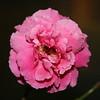 Up Close tele Roses 021508_0006