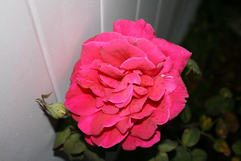 Up Close tele Roses 021508_0003