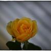 June 17,2013_IMG_2803_ My Roses