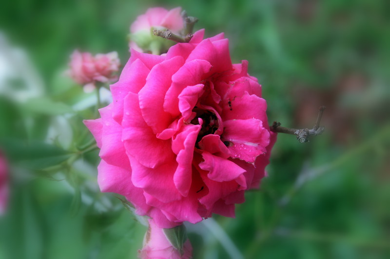 Roses XTi Macro 072908_0005