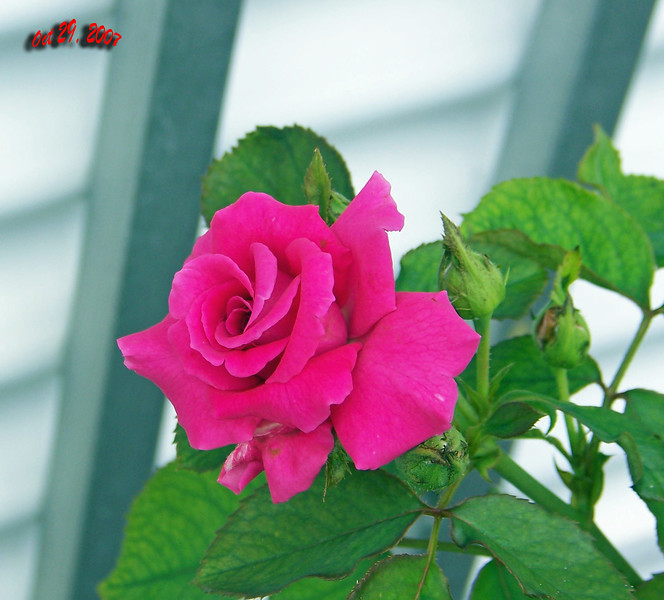 Roses side of house 102907007