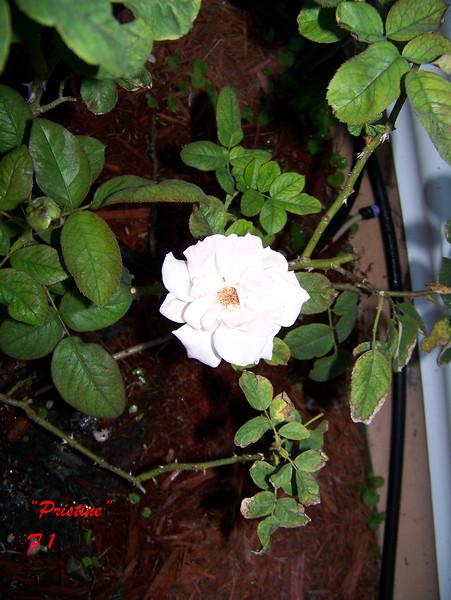 Roses NAMED 110207028