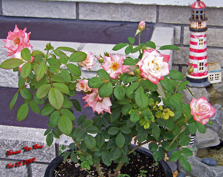Gemini Tea Rose 2 102707001_1524