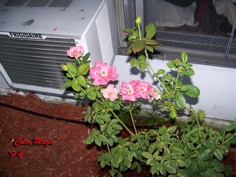 Roses NAMED 110207022
