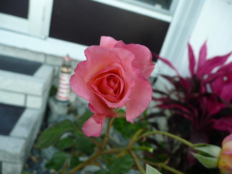Frt rose TZ3 030908025