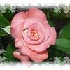 FZ18 IA GEMINI Rose 100508 _00001