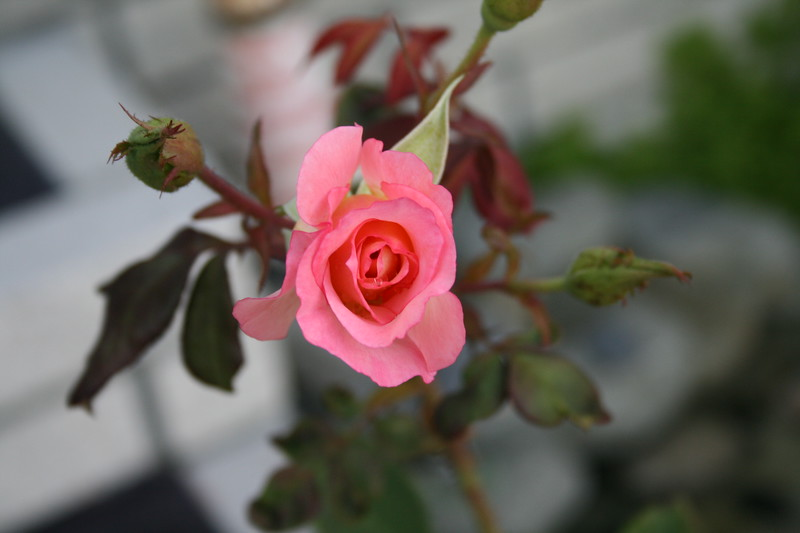 Front rose XTI sports 030508 (4)