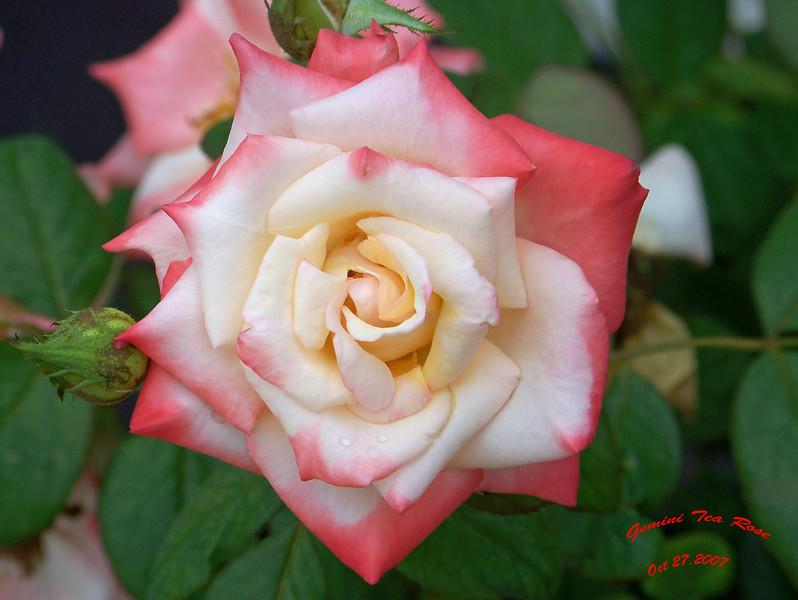 Gemini Tea Rose 2 102707006_1519