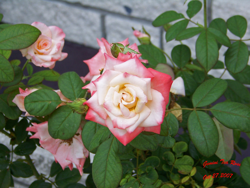 Gemini Tea Rose 2 102707005_1520