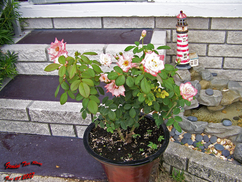 Gemini Tea Rose in pot 102707001_1545