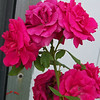 Roses side of house 102907001