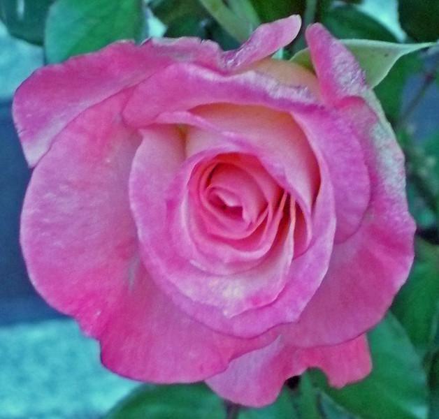 rose backpack TZ3 030808001