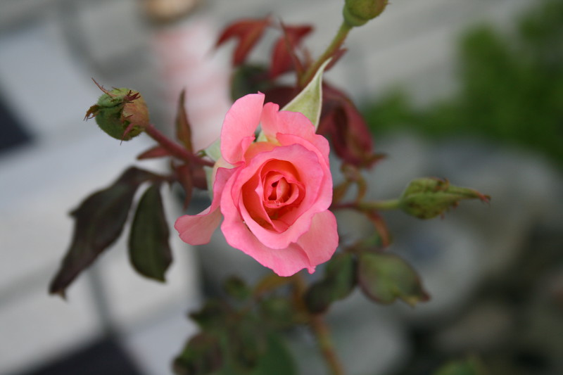 Front rose XTI sports 030508 (2)