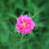 Roses XTi Macro 072908_0008