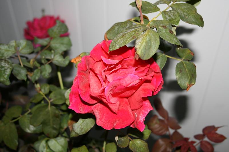 Up Close tele Roses 021508_0001