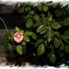 Gemini rose 100508