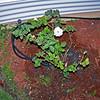 Roses NAMED 110207030