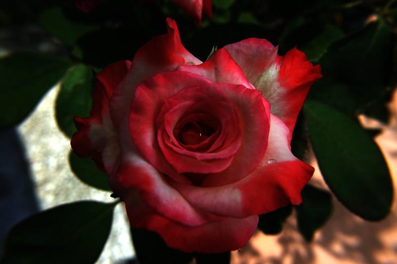 Gemini Rose Macro  10 080408 6