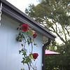 Roses 03221000002