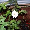 Roses NAMED 110207029