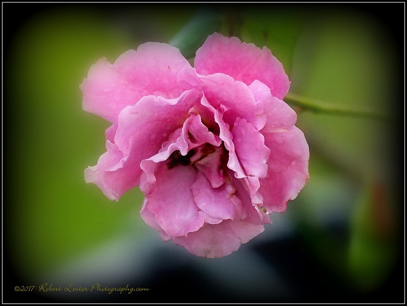 2017-03-31_P3310079_Angel Face Rose,Clwtr,fl