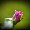 2016-11-17_PB170015_roses,Clwtr,Fl