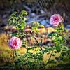 Angel Face Rose_P1110016_vib,colsat3 0,whitcl7 0,cont ligh-27_2017-01-11
