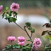 2016-11-28_PB280027_painterly,lum -4 6_Angel Face Rose,Clwtr,Fl