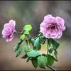 2016-11-28_PB280013_painterly,lum -4 6_Angel Face Rose,Clwtr,Fl